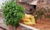 Củ cải khổng lồ nặng hơn 15 kg