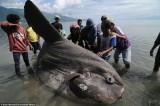 Phát hiện con cá Mặt Trăng khổng lồ tại Indonesia