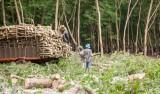 Người dân nên cải tạo vườn cây cao su theo hướng áp dụng kỹ thuật mới