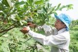 Tìm đầu ra cho ổi lê Đài Loan
