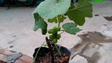 Tránh nóng, người Hà Nội trồng nho Pháp để lấy bóng râm