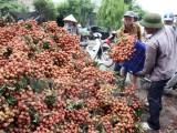 Việt Nam sẽ xuất khẩu lô vải thiều đầu tiên sang Mỹ vào ngày 30-5