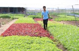 Làm giàu từ mô hình trồng rau an toàn