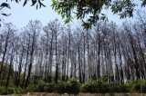Hàng trăm hécta rừng thông chết khô do nắng nóng và sâu bệnh