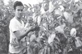 Làm giàu với mô hình trồng ổi lê Đài Loan