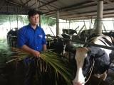 Nhà nông trẻ Trần Hoài Anh: Thành công với mô hình chăn nuôi bò sữa