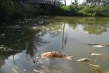 Thông tin tiếp theo về việc cá chết trắng ao nghi do nước thải từ công ty: Cá chết không phải do dịch bệnh