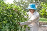 Thành lập Câu lạc bộ các trang trại cây có múi: Hướng đi cần thiết của huyện Bàu Bàng