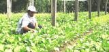 Phú Giáo: Nông nghiệp tăng trưởng ổn định