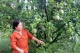 Doanh nhân Nguyễn Thanh Thủy: Thành công với mô hình trồng bưởi da xanh