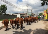 Đàn bò ra phố