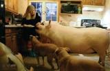 Đôi vợ chồng nuôi nữ thần heo khổng lồ nặng 300kg trong nhà