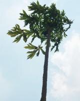 Kỳ lạ cây đu đủ cao bằng tòa nhà 2 tầng
