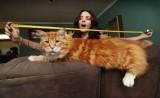 Đã tìm thấy con mèo lớn nhất thế giới dài 1,2m, thậm chí còn chưa phát triển hết