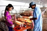 Nhiều phương án hỗ trợ người chăn nuôi heo