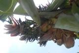 Cây chuối nở 21 hoa hiếm thấy ở Thanh Hóa