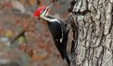 Vì sao chim gõ kiến gõ mãi mà không… nhức đầu?