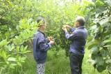 Xã Minh Hòa, huyện Dầu Tiếng: Phát triển mạnh vườn cây ăn trái giá trị cao