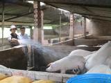 Phường Thái Hòa, TX.Tân Uyên: Kiên quyết di dời các hộ dân chăn nuôi heo gây ô nhiễm