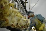 Việt Nam xuất khẩu lô hàng thịt gà đầu tiên sang thị trường Nhật Bản