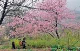 Sapa to plant 3,000 cherry trees in tourism push