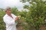 Người trồng mai ở An Tây: Tiếp tục hy vọng mùa bội thu
