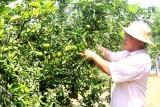 Xã Hiếu Liêm, huyện Bắc Tân Uyên: Phát triển mạnh vùng chuyên canh cây ăn trái