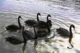 Tranh cãi trái chiều thả thiên nga trên hồ Hà Nội: Tiếp hay dừng?