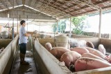 Bàu Bàng: Được công nhận vùng an toàn dịch bệnh động vật