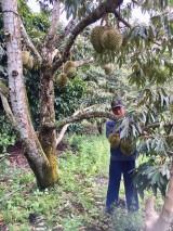 Làm giàu từ cây sầu riêng