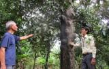 Giữ gìn và phát triển vườn măng cụt đặc sản ở Thuận An Bài 1: Vườn măng cụt trăm tuổi giữa lòng đô thị