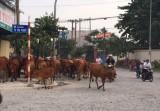 Đàn bò gây cản trở giao thông