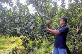 Sweet Bach Dang grapefruit and North Tan Uyen orange