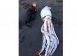 Con mực dài hơn 4 m dạt vào bãi biển New Zealand