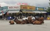 Đàn bò tụ họp giữa đường!
