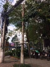 Cây xanh bị xâm hại: Cần có giải pháp bảo vệ kịp thời