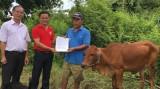 Hội chữ thập đỏ Tx.Tân Uyên:  Bàn giao bò sinh sản cho hộ khó khăn