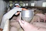 Bàu Bàng: Bảo vệ môi trường trong chăn nuôi