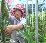 Khá lên từ mô hình trồng lan mokara cắt cành