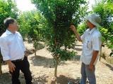 Trồng cây có múi theo hướng nông nghiệp sạch - hướng đi phù hợp