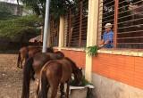 Phường An Phú, TX.Thuận An: Vất vả tìm chủ đàn ngựa thả rong