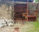 """Cần có """"quy chuẩn"""" nuôi nhốt hổ và các loài thú hoang dã"""