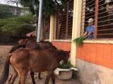 Phường An Phú, Tx.Thuận An: Đã thanh lý đàn ngựa thả rông