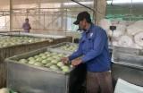 Nông nghiệp công nghệ cao chuyển biến rõ nét