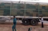 Dầu Tiếng: Tập trung phòng chống bệnh dịch tả heo châu Phi