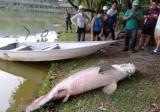 Xác cá rồng nặng 108 kg nổi trên mặt hồ Malaysia