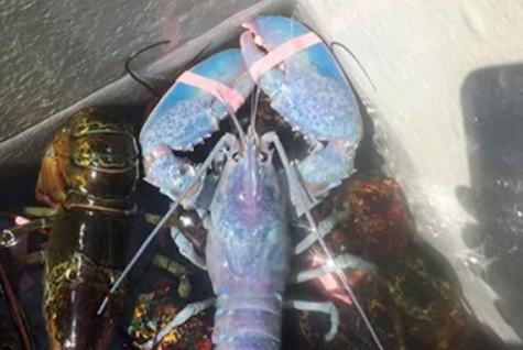 Ngư dân Mỹ bắt được tôm hùm hiếm màu xanh ngọc