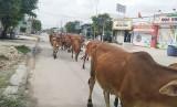 Thả rông gia súc trên phố, nguy hiểm khó lường