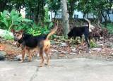 Chó nuôi không tiêm phòng vắc xin bệnh Dại sẽ bị xử phạt