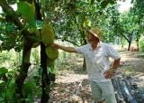 Khá lên từ trồng mít lá bàng